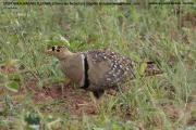 017.01.Pterocles_bicinctus01.Male.Mahango.Namibia.25.02.2014