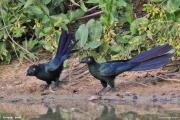 Crotophaga_major002.Pantanal.Brazylia.19.11.2013