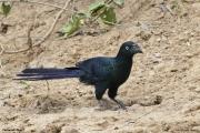 Crotophaga_major003.Pantanal.Brazylia.17.11.2013