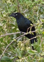 Crotophaga_major005.Pantanal.Brazylia.17.11.2013