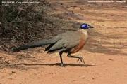 019.016.Coua gigas001.Zombitse_Vohibasia N.P.Madagaskar.AJ.19.10.2018