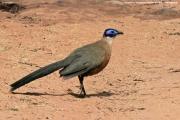 Coua gigas002.Zombitse_Vohibasia N.P.Madagaskar.AJ.19.10.2018