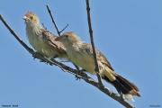 Guira_guira004.Pantanal.Brazylia.9.11.2013