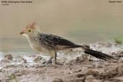 019.004.Guira_guira001.Pantanal.Brazylia.12.11.2013