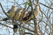 Guira_guira005.Pantanal.Brazylia.9.11.2013