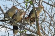 Guira_guira006.Pantanal.Brazylia.9.11.2013