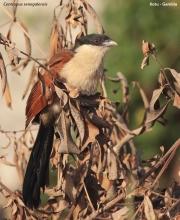 Centropus_senegalensis002.Kotu.Gambia.17.01.2009