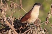 Centropus_senegalensis005.Kotu.Gambia.18.01.2009