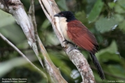 Centropus_monachus002.Nyassoso.Kamerun.19.02.2012
