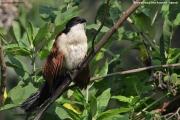 Centropus_monachus009.Bushara_Is.Lake_Bunyonyi.Uganda.3.03.2011