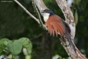 Centropus_monachus004.Nyassoso.Kamerun.19.02.2012