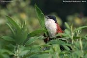 Centropus_monachus005.Bushara_Is.Lake_Bunyonyi.Uganda.3.03.2011