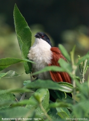 Centropus_monachus006.Bushara_Is.Lake_Bunyonyi.Uganda.3.03.2011