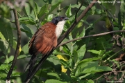 Centropus_monachus007.Bushara_Is.Lake_Bunyonyi.Uganda.3.03.2011