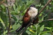Centropus_monachus008.Bushara_Is.Lake_Bunyonyi.Uganda.3.03.2011