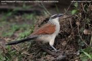 019.043.1.Centropus_superciliosus001.Lake_Mburo_N.P.Uganda.PJ.4.03.2011