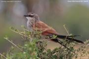 Centropus_superciliosus003.Kidepo_Valley_N.P.Uganda.13.11.2012