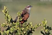 Centropus_superciliosus005.Tarangira_N.P.Tanzania.24.03.2013