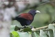 019.033.Centropus chlororhynchos001.Sinharaja Forest Reserve.Sri Lanka.26.11.2018