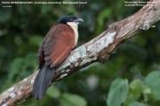 019.041.Centropus_monachus001.Nyassoso.Kamerun.19.02.2012