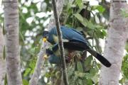 Corythaeola_cristata002.Entebbe.Uganda.PJ.12.02.2011
