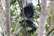 Corythaeola_cristata003.Entebbe.Uganda.PJ.12.02.2011