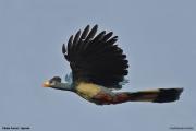 Corythaeola_cristata009.Kibale_Forest.Uganda.PJ.18.02.2011
