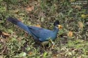 Corythaeola_cristata011.Bigodi.Kibale_Forest_N.P.Uganda.PJ.20.02.2011