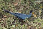 Corythaeola_cristata015.Bigodi.Kibale_Forest_N.P.Uganda.PJ.20.02.2011