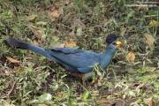 Corythaeola_cristata016.Bigodi.Kibale_Forest_N.P.Uganda.PJ.20.02.2011