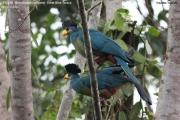 020.001.Corythaeola_cristata001.Entebbe.Uganda.PJ.12.02.2011