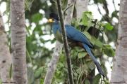 Corythaeola_cristata004.Entebbe.Uganda.PJ.12.02.2011