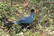 Corythaeola_cristata010.Bigodi.Kibale_Forest_N.P.Uganda.PJ.20.02.2011