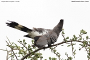 Criniferoides_leucogaster003.Mpala_R.C.Kenia.3.12.2014