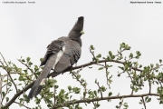 Criniferoides_leucogaster004.Mpala_R.C.Kenia.3.12.2014