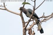 020.003.Crinifer_zonurus001.Fort_Portal.Uganda.25.11.2012