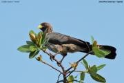 Crinifer_zonurus006.Ziwa_Rhino_Sanctuary.Uganda.21.11.2012