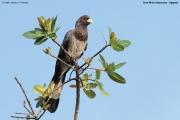 Crinifer_zonurus004.Ziwa_Rhino_Sanctuary.Uganda.21.11.2012