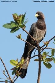 Crinifer_zonurus005.Ziwa_Rhino_Sanctuary.Uganda.21.11.2012