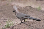 Corythaixoides concolor002.Mahango.Ngepi.Namibia.25.02.2014