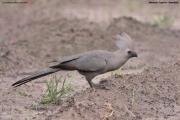Corythaixoides concolor003.Mahango.Ngepi.Namibia.25.02.2014