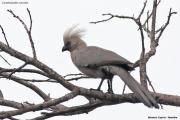 Corythaixoides concolor005.Mahango.Ngepi.Namibia.25.02.2014