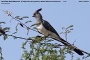020.002.Criniferoides_leucogaster001.Okolice_Yabelo.Etiopia.19.11.2009
