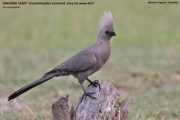 020.006.Corythaixoides concolor001.Mahango.Ngepi.Namibia.25.02.2014