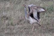 Eupodotis_senegalensis002.Male.Masai_Mara_N.R.Kenia.12.12.2014