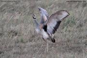 Eupodotis_senegalensis003.Male.Masai_Mara_N.R.Kenia.12.12.2014