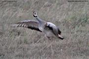 Eupodotis_senegalensis004.Male.Masai_Mara_N.R.Kenia.12.12.2014