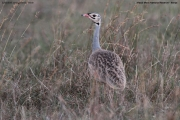 Eupodotis_senegalensis005.Male.Masai_Mara_N.R.Kenia.12.12.2014