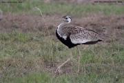 Lissotis_melanogaster004.Masai_Mara.Kenia.12.12.2014