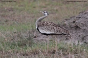 Lissotis_melanogaster005.Masai_Mara.Kenia.12.12.2014